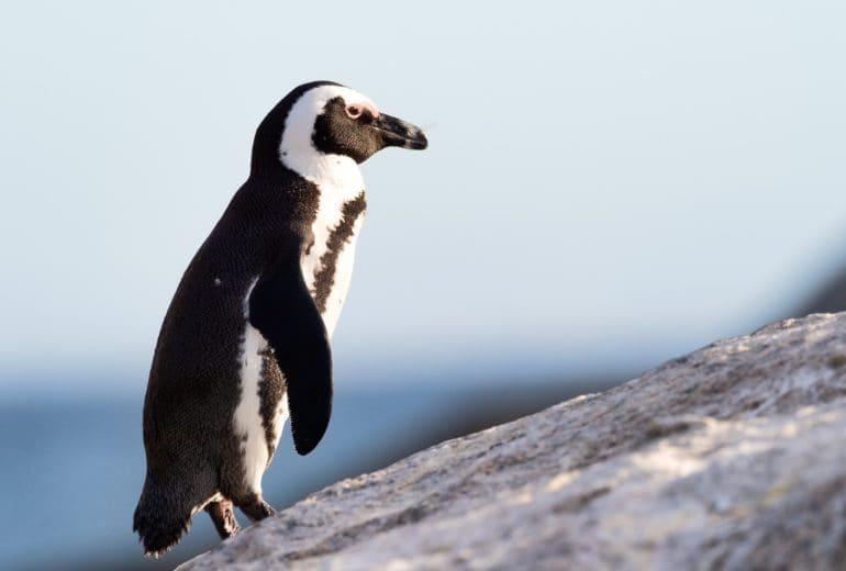 african penguin animal animal photography 1881761 770x520